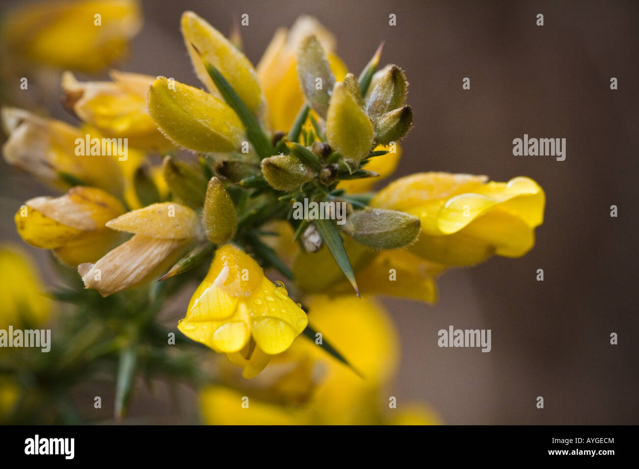 Close up of gorse - Stock Image