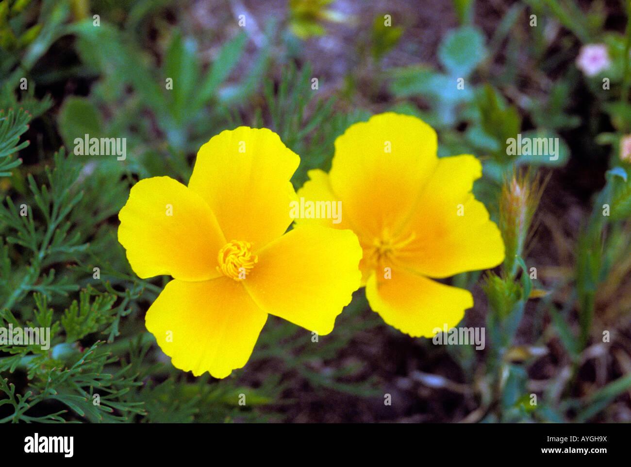 California Golden Poppy State Flower Stock Photos California