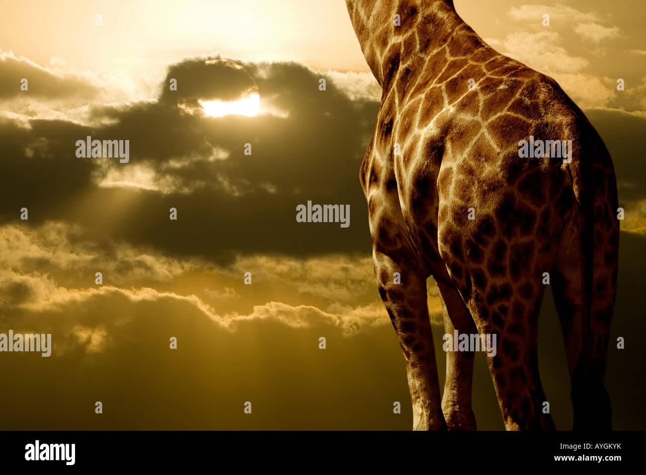 Rothschild giraffe and sunset, Kenya - Stock Image