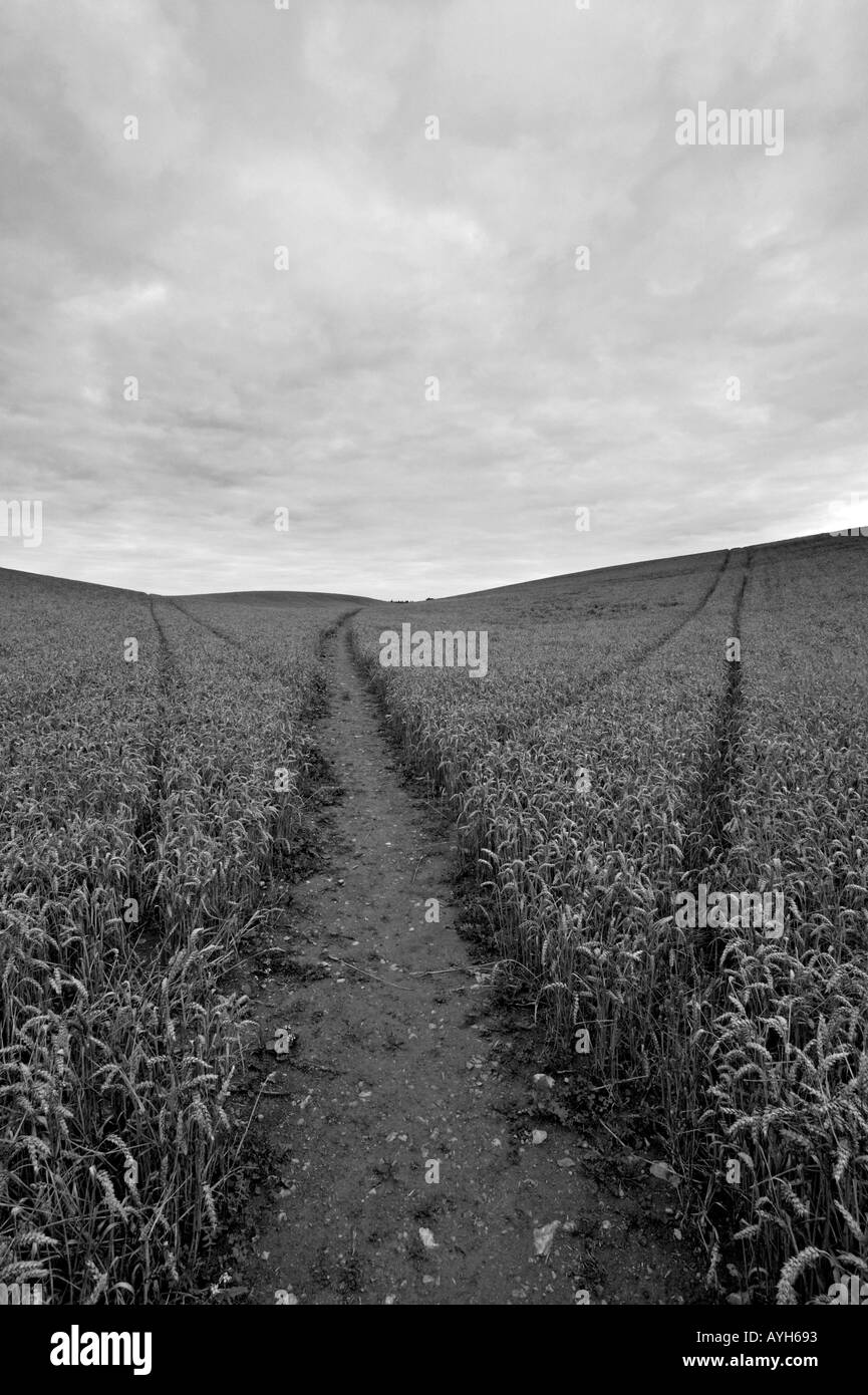 A path across a corn field, just outside Fulbrook in the Cotswolds. There are two tractor track diverging away from the path. - Stock Image