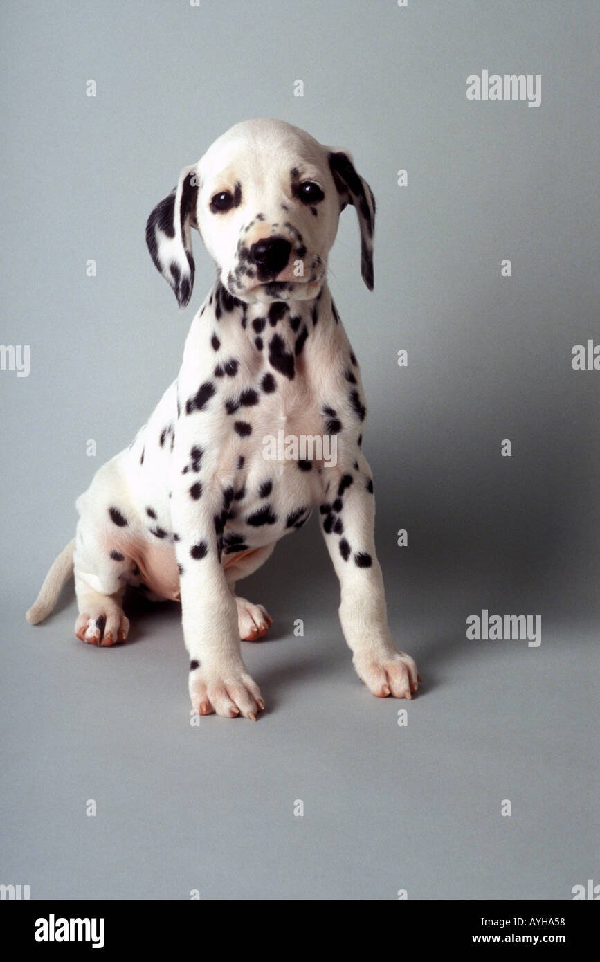 Dalmatian puppy on gray background - Stock Image