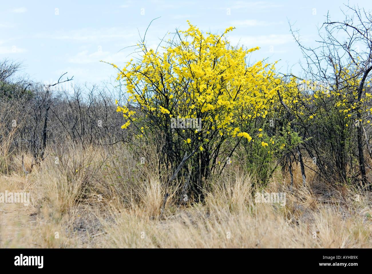 Western Rhigozum Rhigozum Brevispinosum Tree Stock Photos Western