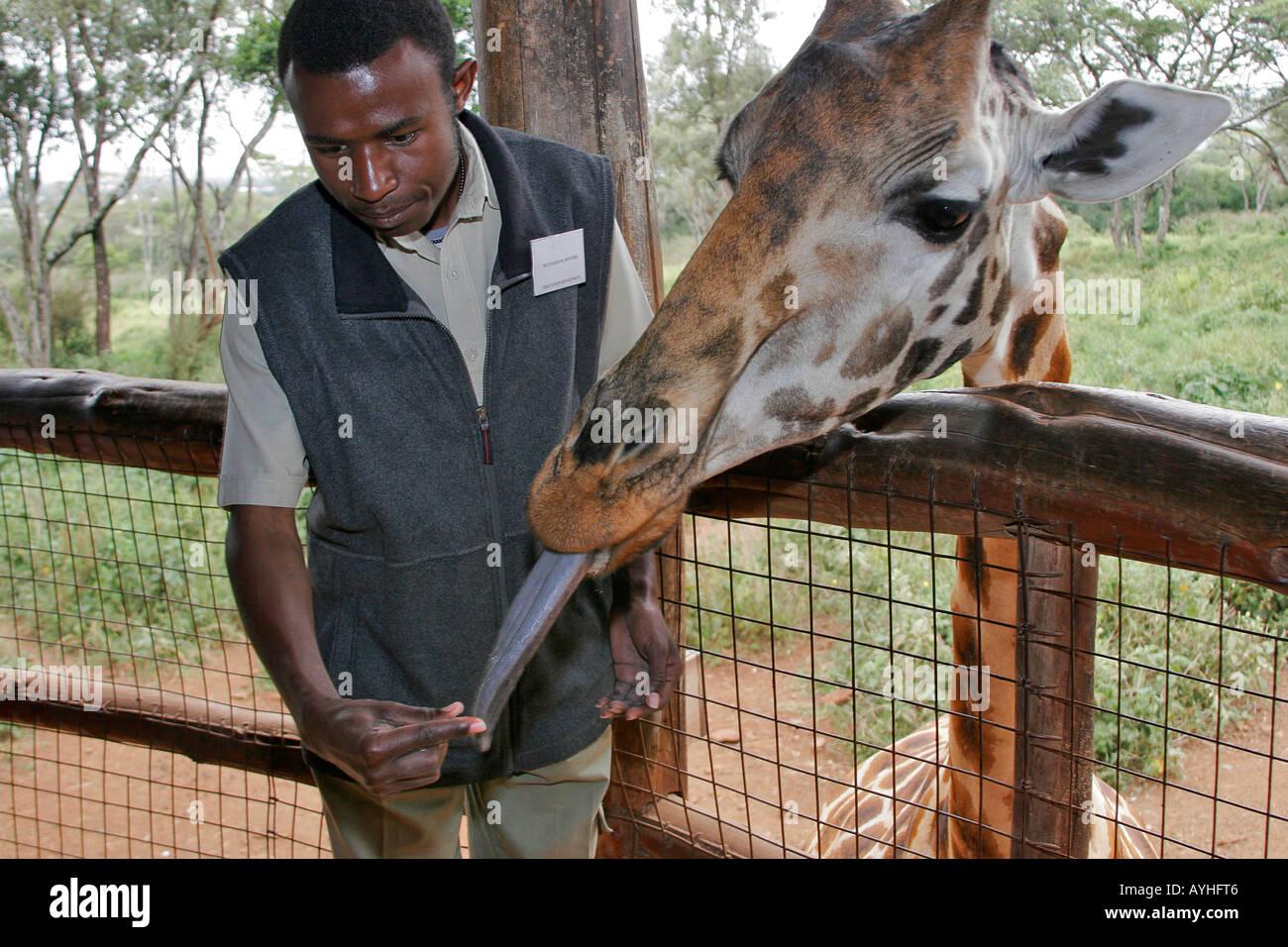 Visitor feeds giraffe with long blue tongue at refuge near Nairobi Kenya Africa Stock Photo