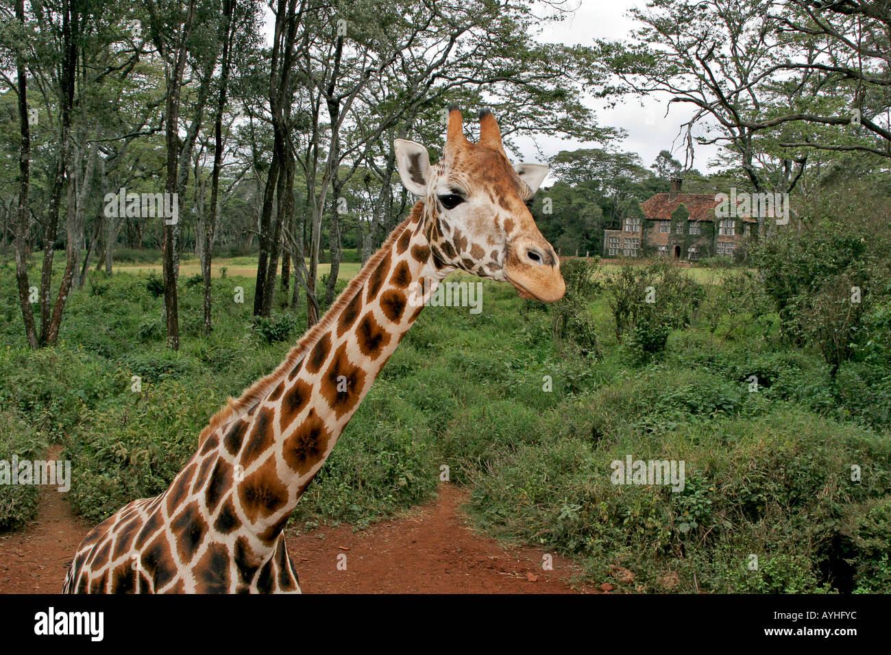 Giraffe at refuge near Nairobi Kenya Africa Stock Photo