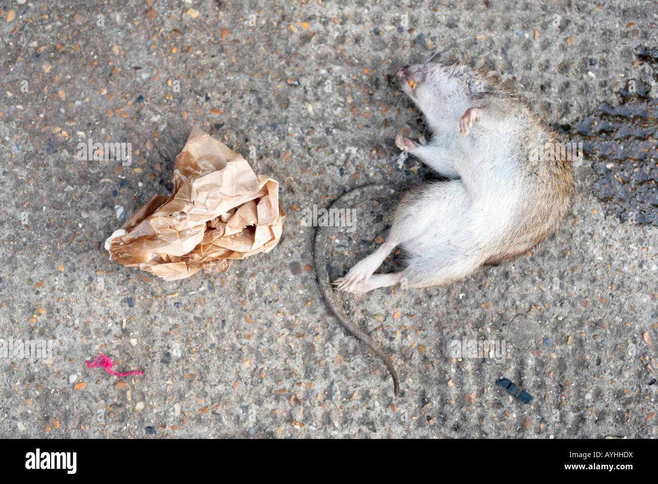 a dead rat in london - Stock Image
