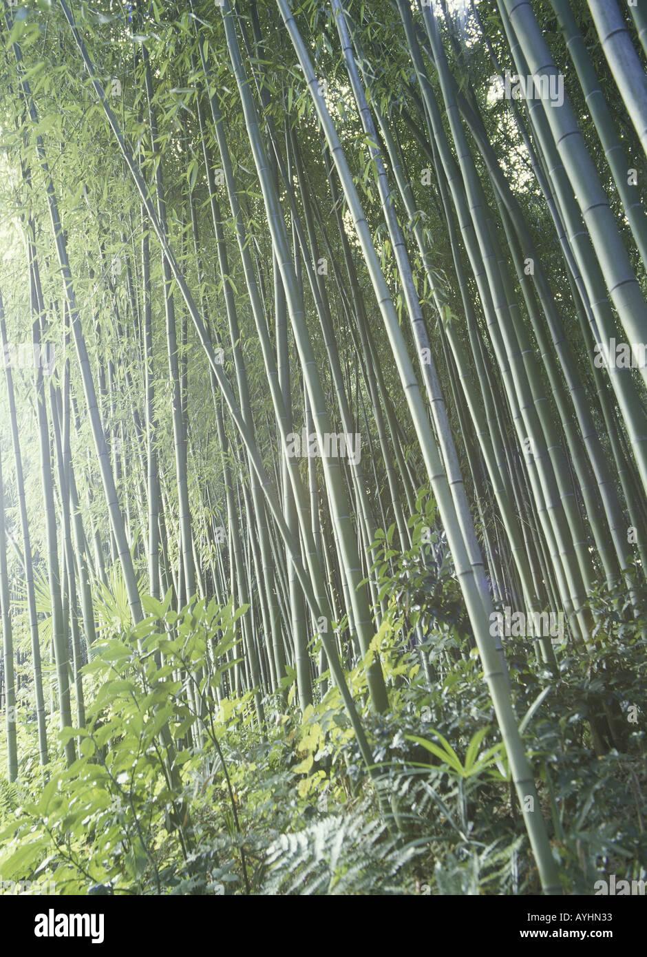 Bambuswald Stock Photo 5587250 Alamy