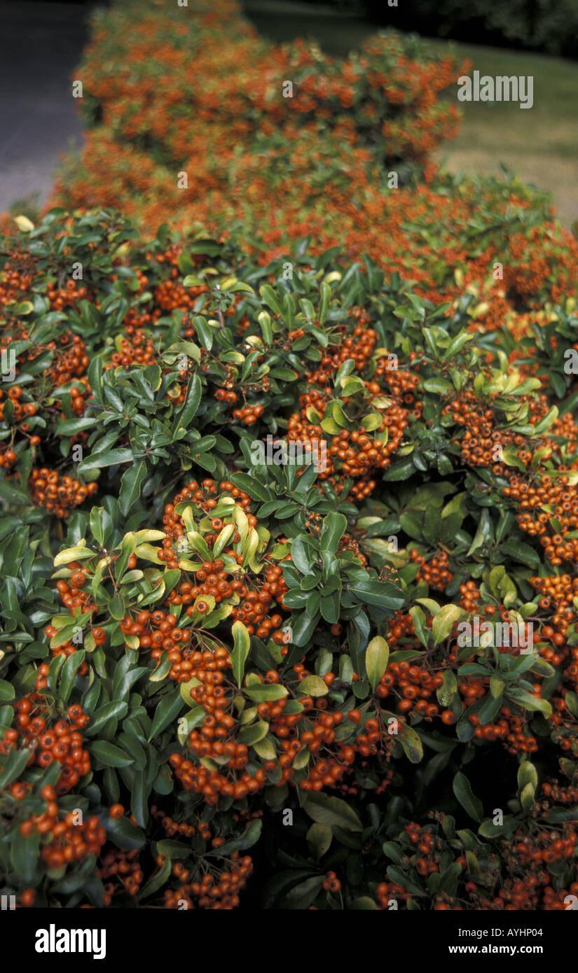 Feuerdorn Stock Photo