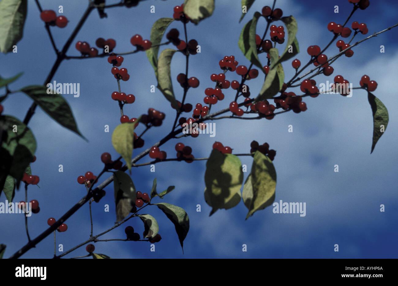 Rote Beeren an einer Pflanze Stock Photo