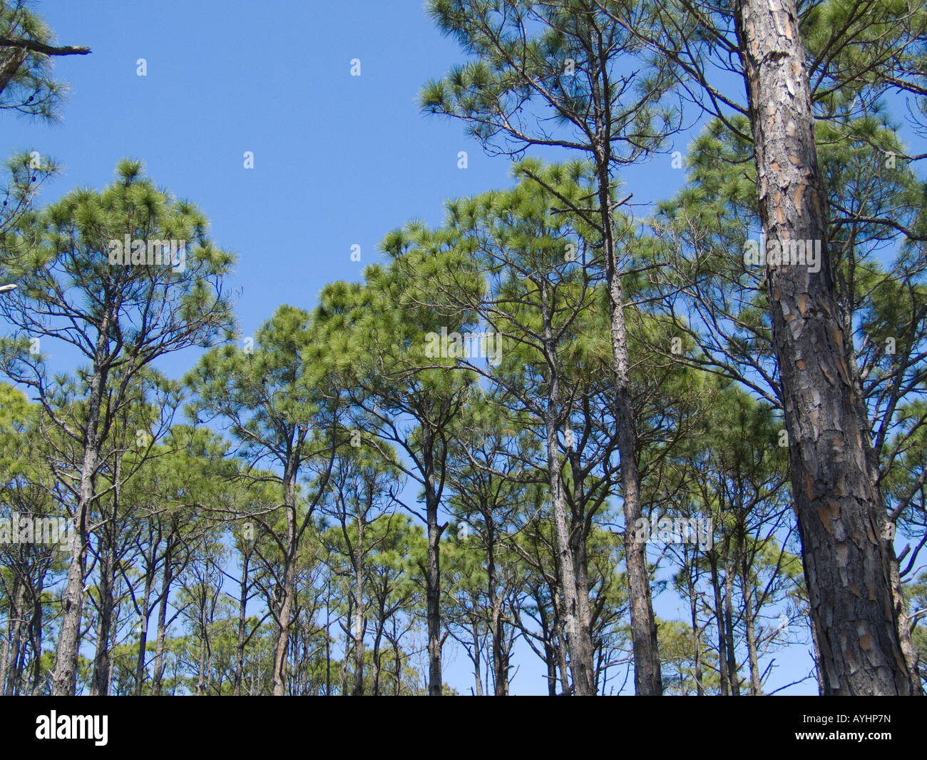 Dr Julian G Bruce St George Island State Park pine trees and blue sky - Stock Image