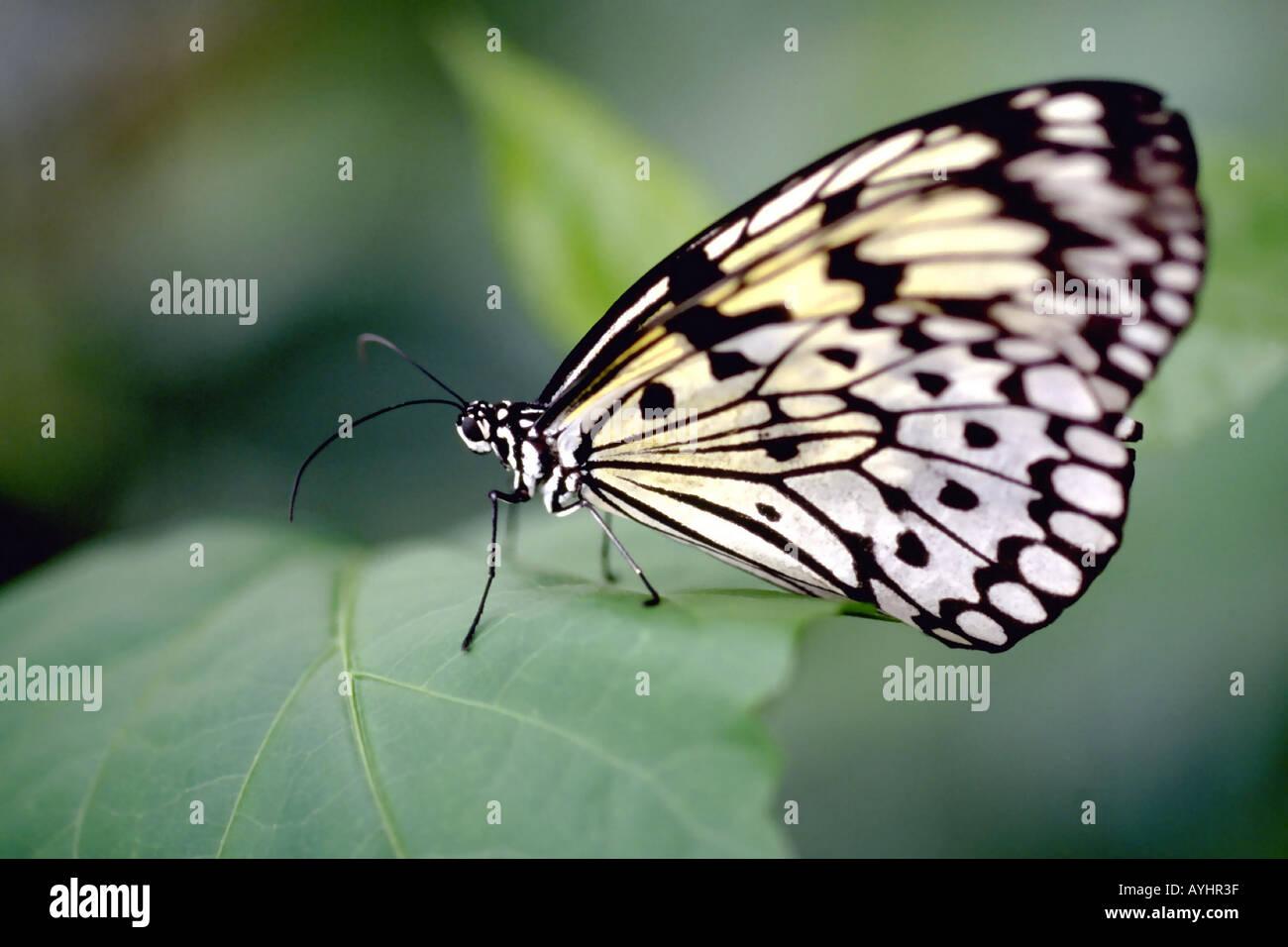 Weisse Baumnymphe tropischer Schmetterling sitzt auf einem Blatt - Stock Image