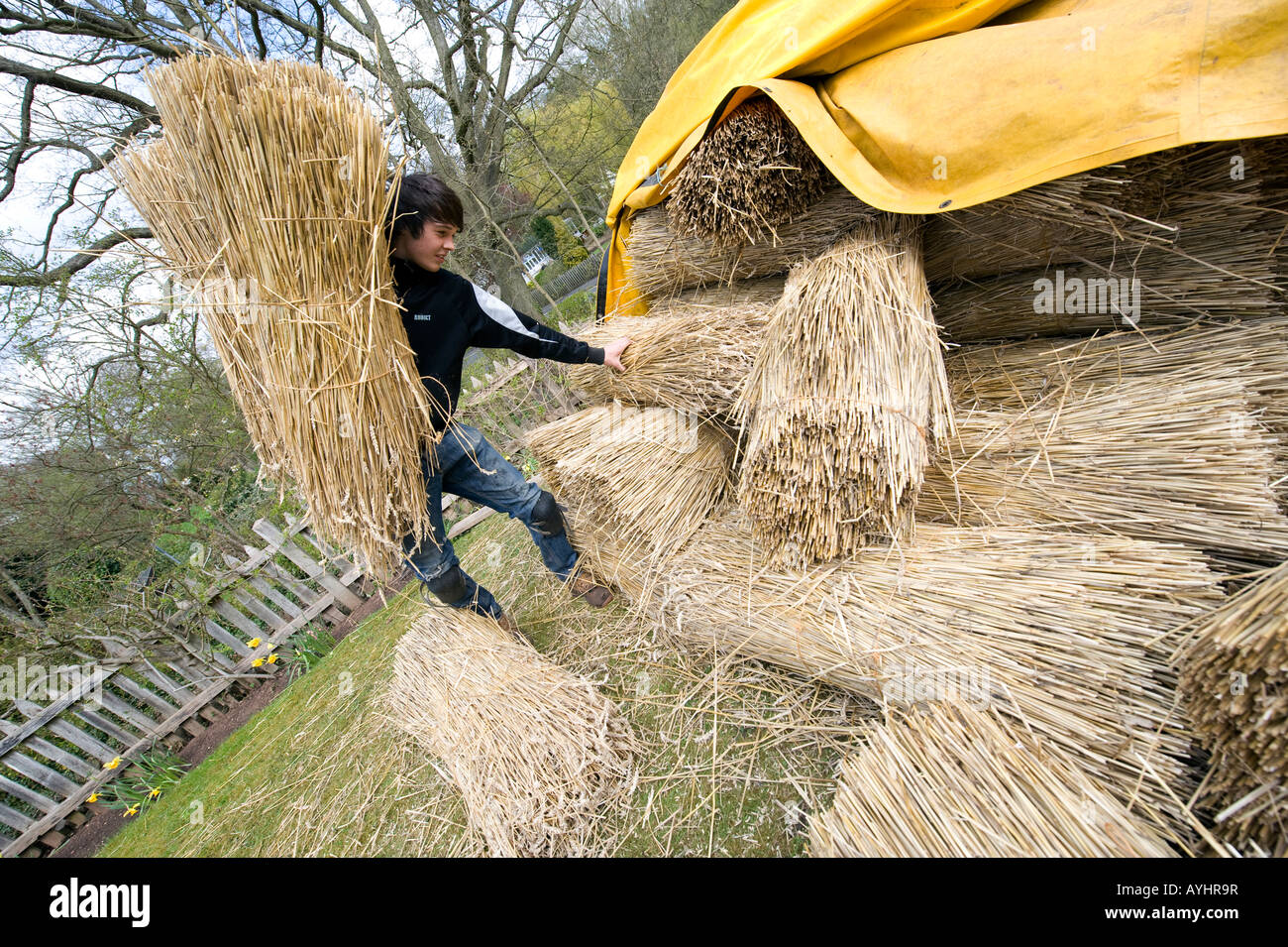 Apprentice Thatcher Jonty Jackson lifts bundles of Thatching Straw, before taking them onto roof of the nearby cottage Stock Photo