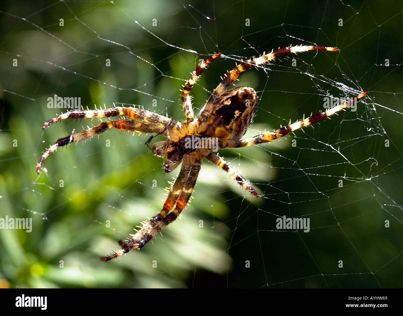 Spinne im Spinnennetz - Stock Image