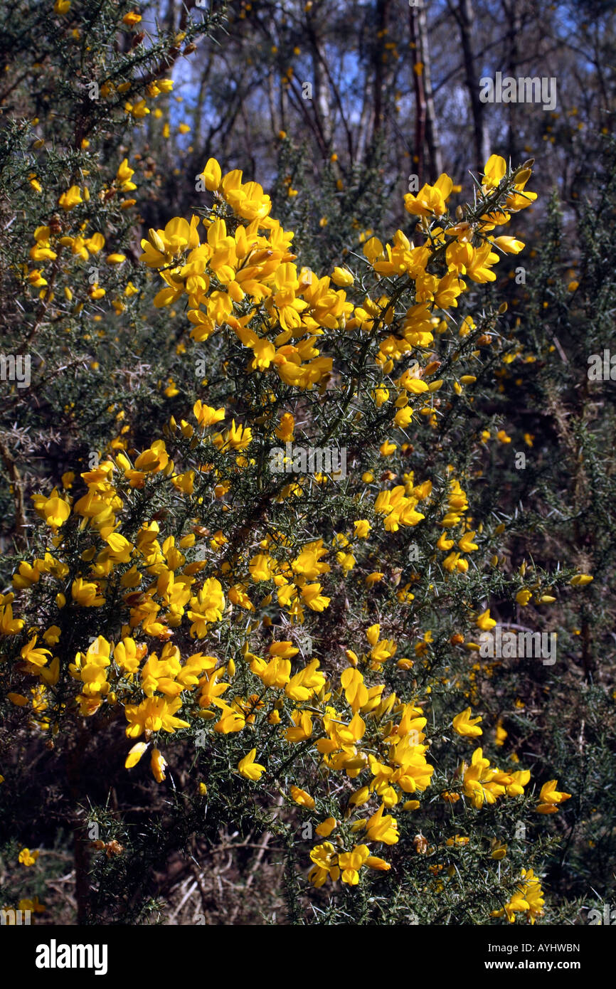 Heathland Yellow Bush Stock Photos Heathland Yellow Bush Stock