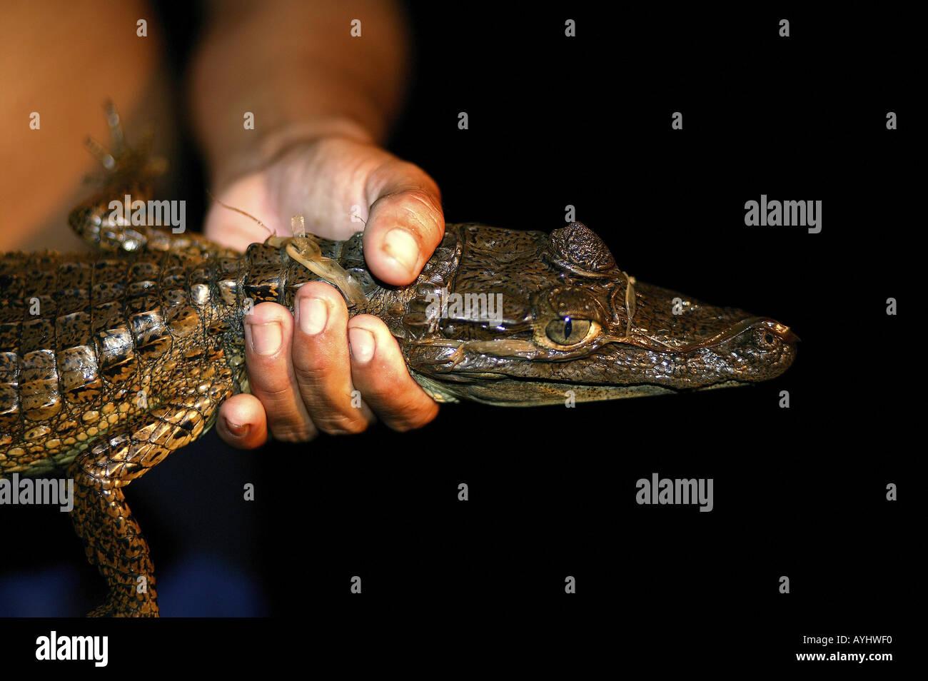 Kaiman in der Hand eines Caboclos Amazonas Stock Photo