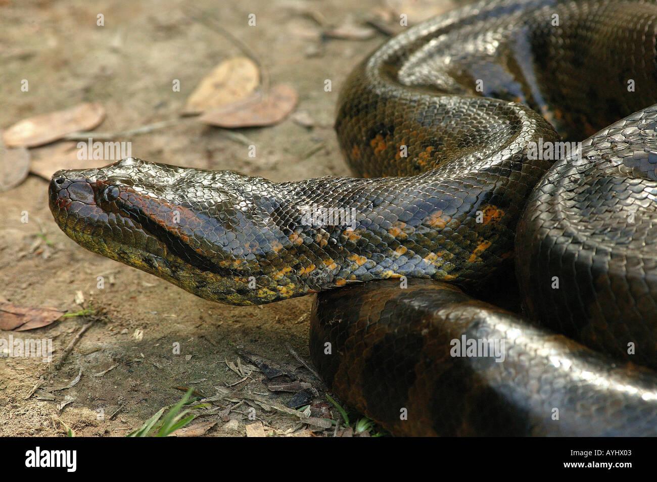 anaconda amazonas