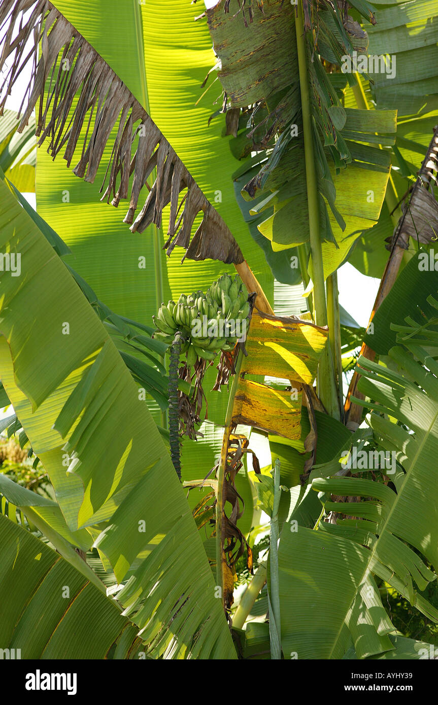 Bananenbaum am Solimes Brasilien Stock Photo