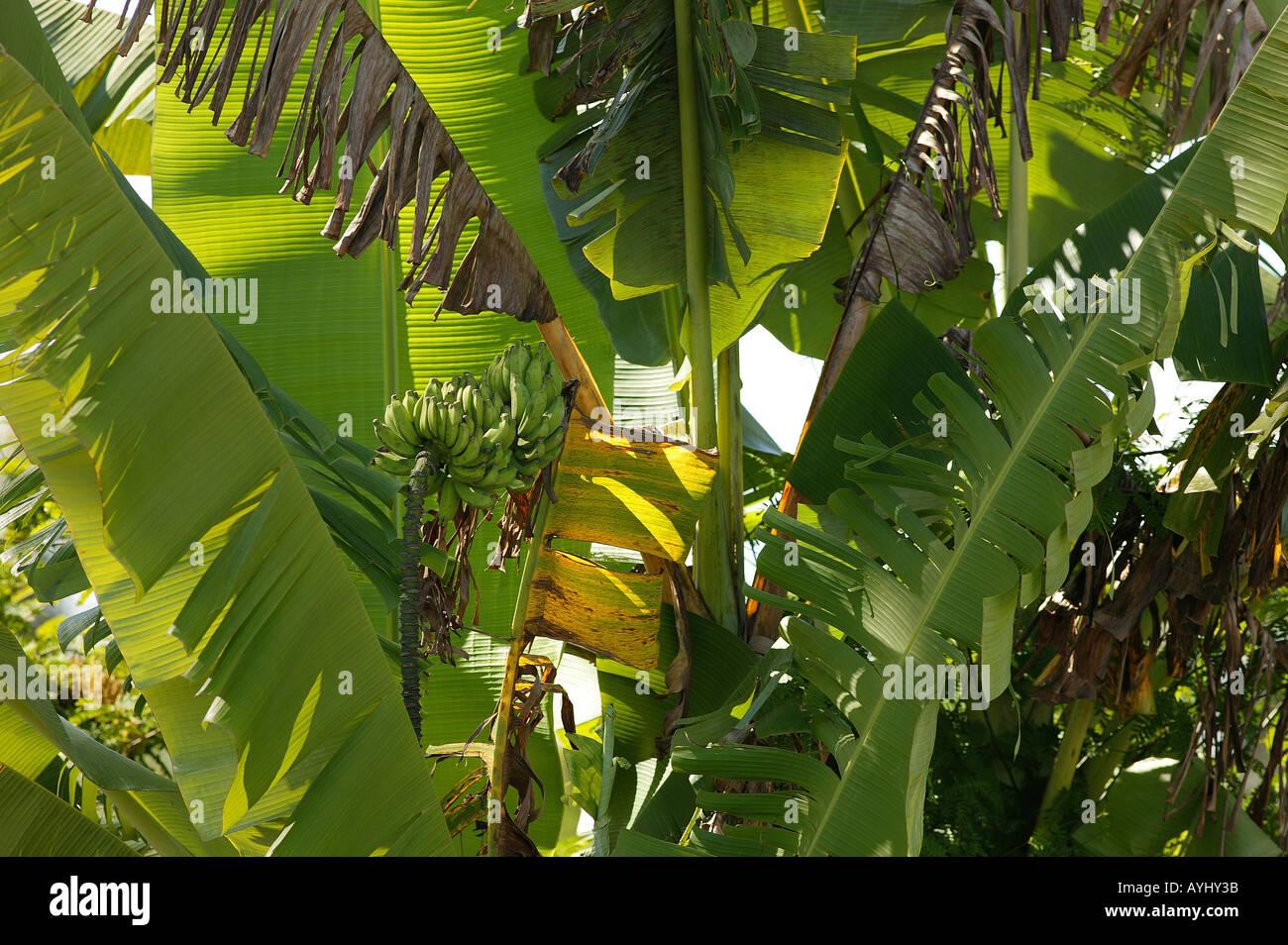 Bananenbaum am Solimes Brasilien Stock Photo