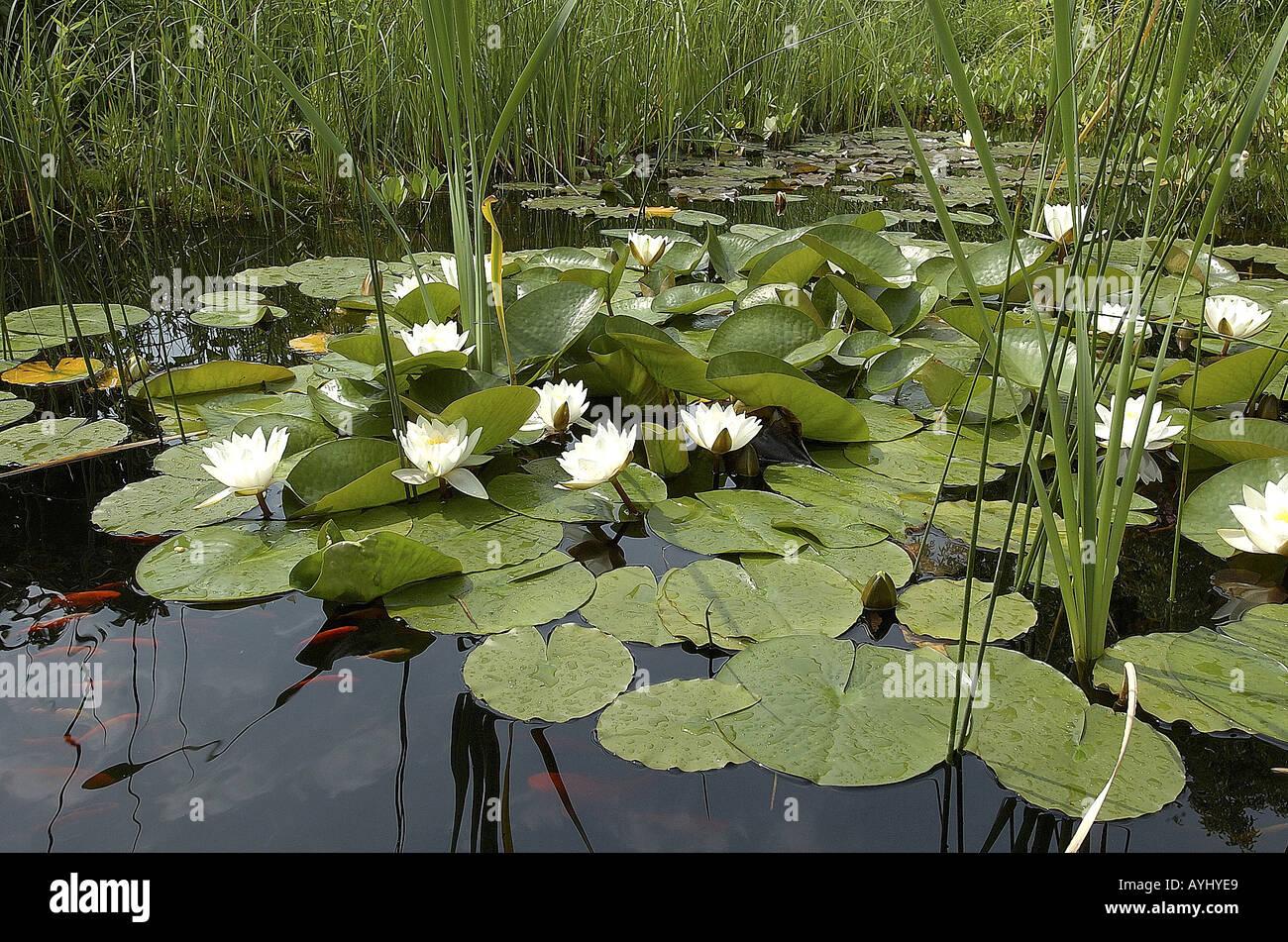 Seerosenteich Mit Goldfischen Stock Photo 5588968 Alamy