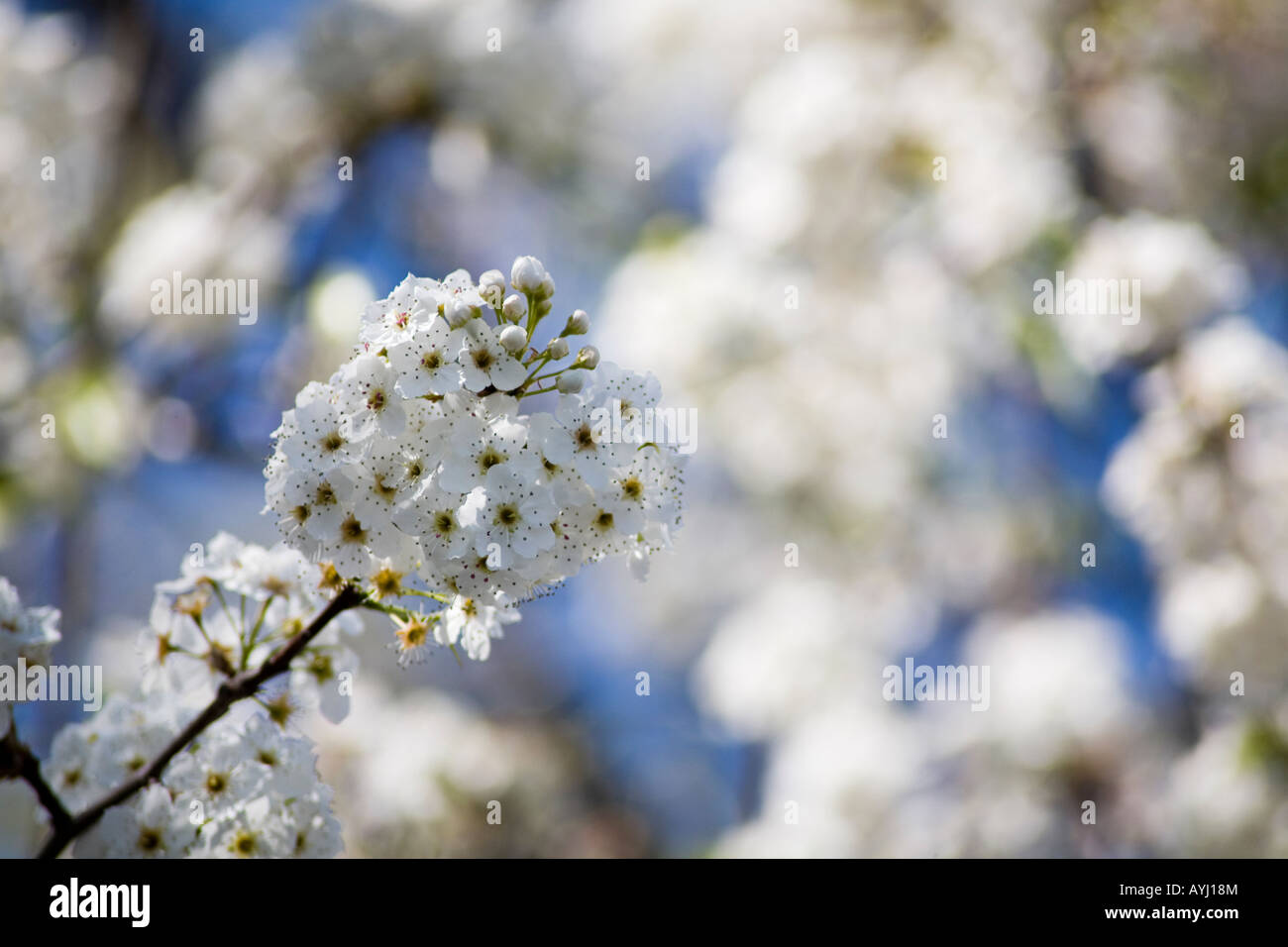 Pyrus Calleryana, Aristocrat Pear tree flowering buds. - Stock Image