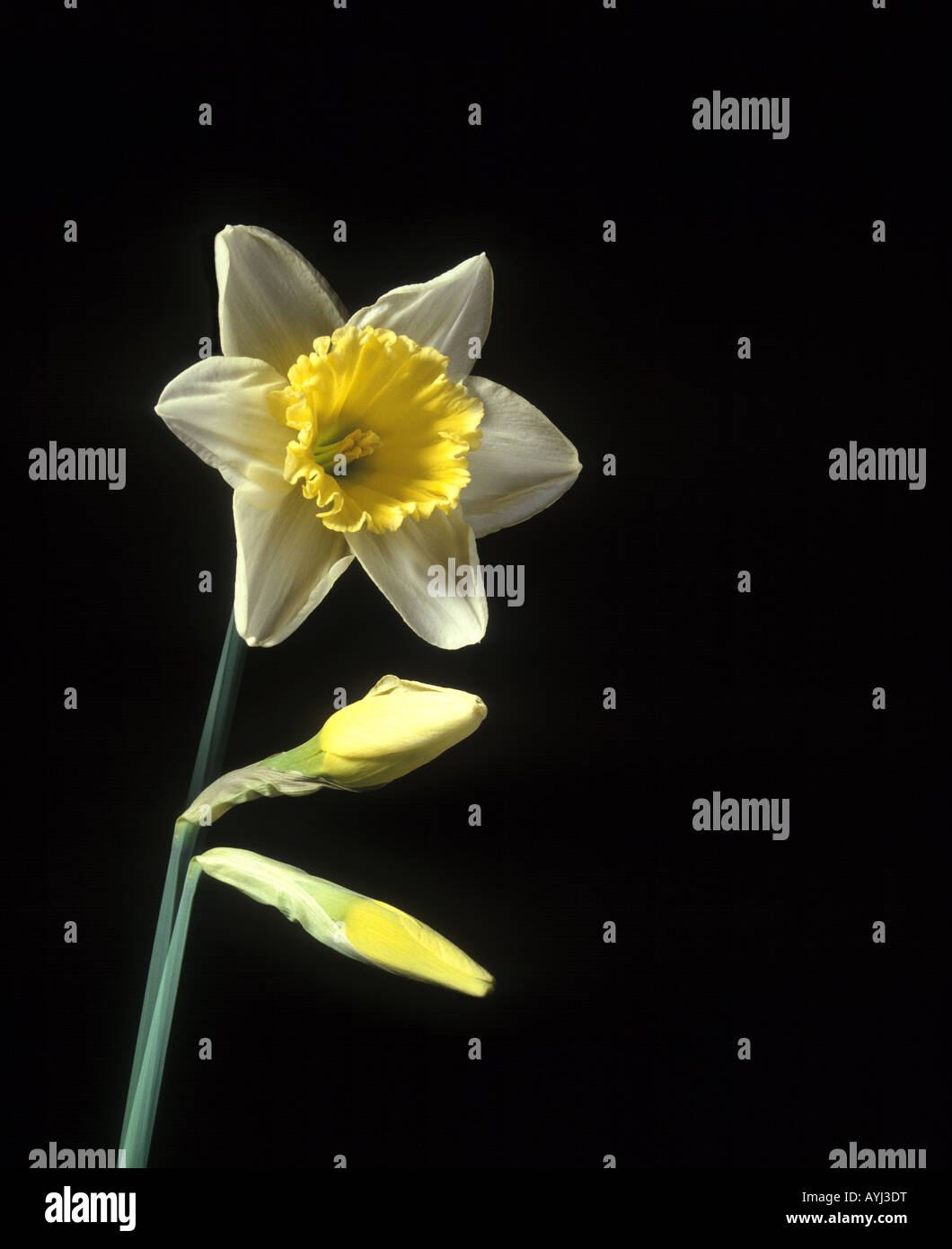 time lapse photo of daffodil on black background - Stock Image