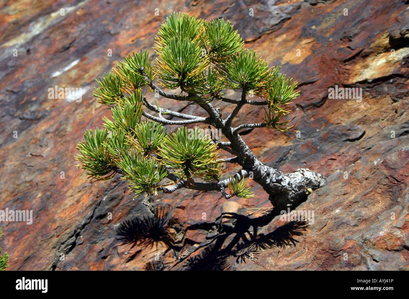 Pine Tree Growing In Solid Rock Wild Bonsai Stock Photo Alamy