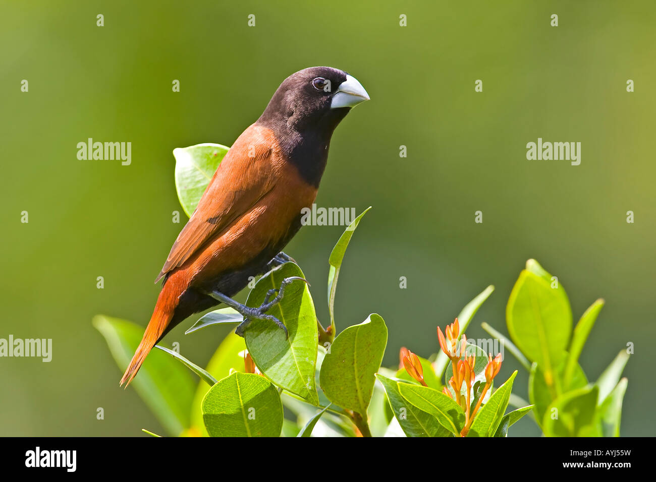 BLACK-HEADED or CHESTNUT MUNIA Lonchura malacca jagori - Stock Image