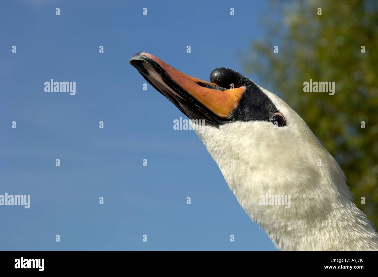 Mute Swan Cygnus olor making grunting sound Oxfordshire UK Stock