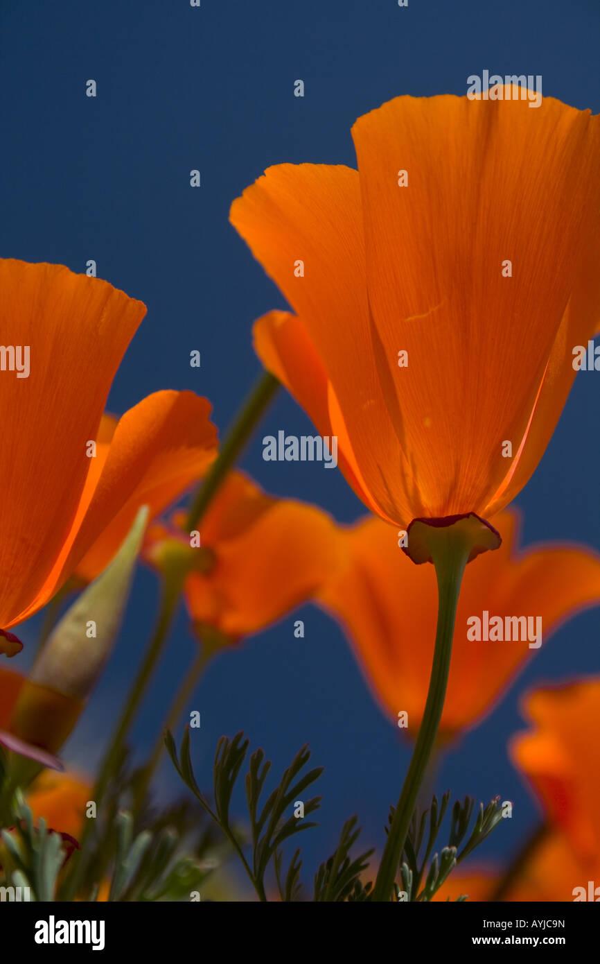 California Poppy - Stock Image