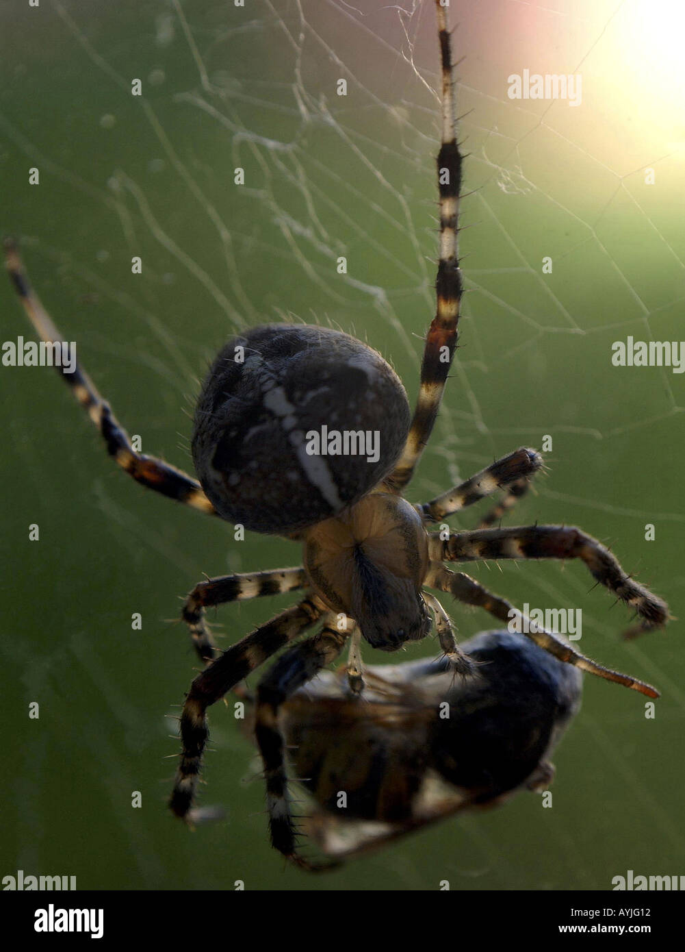 Spinne mit Beute - Stock Image