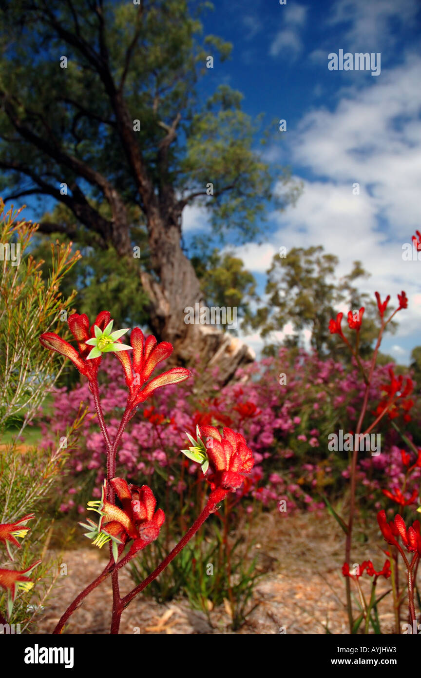 Red Kangaroo Paws High Resolution Stock Photography And Images Alamy