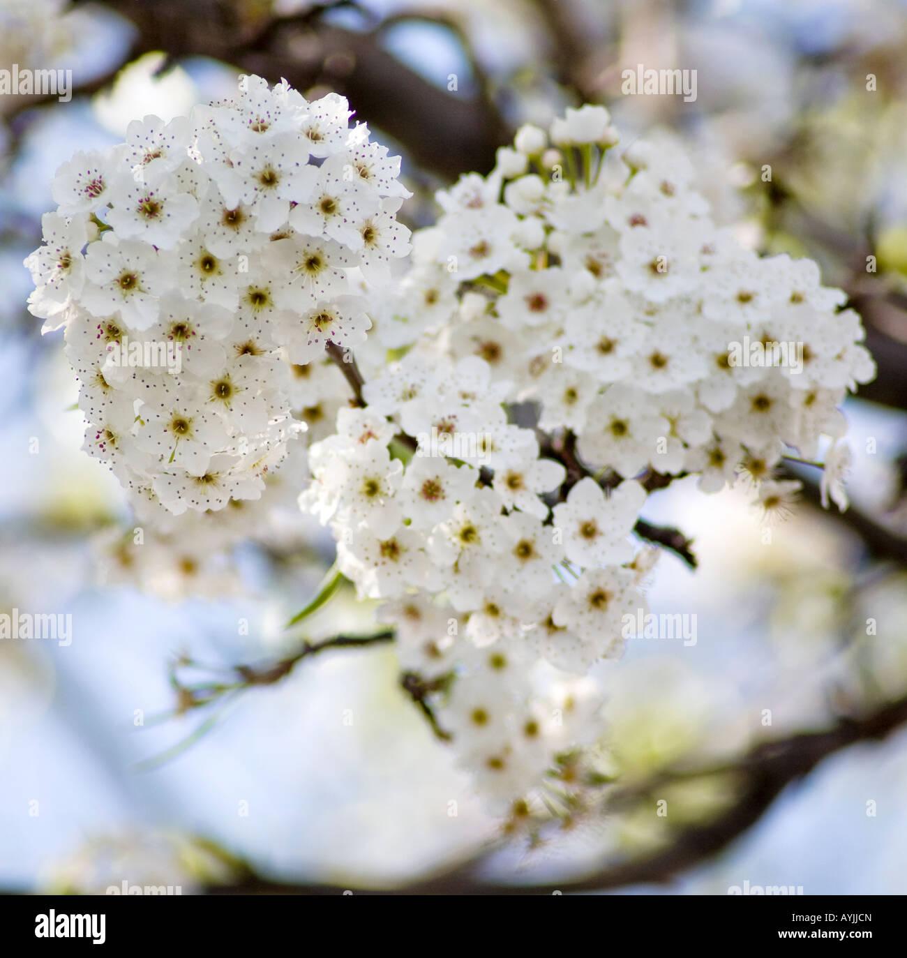 Pyrus Calleryana, Aristocrat Pear tree flowering buds closeup. - Stock Image