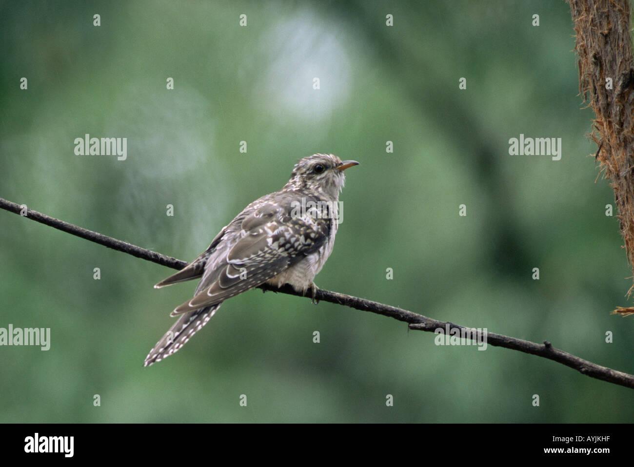 Pallid Cuckoo Cuculus pallidus - Stock Image