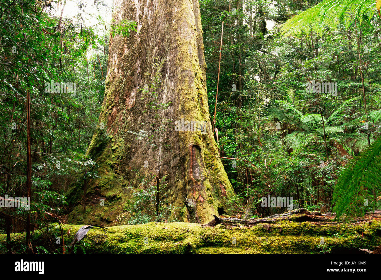Swamp Gum Eucalyptus regnans Photographed in Tasmania Australia - Stock Image