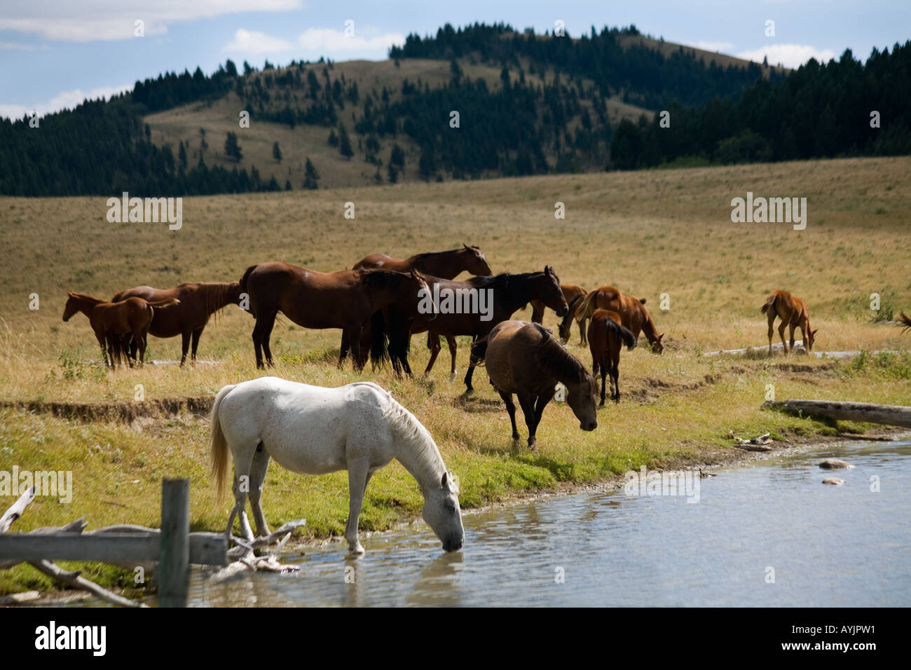 Horses grazing in foothills of the Rocky Mountains Alberta Canada - Stock Image