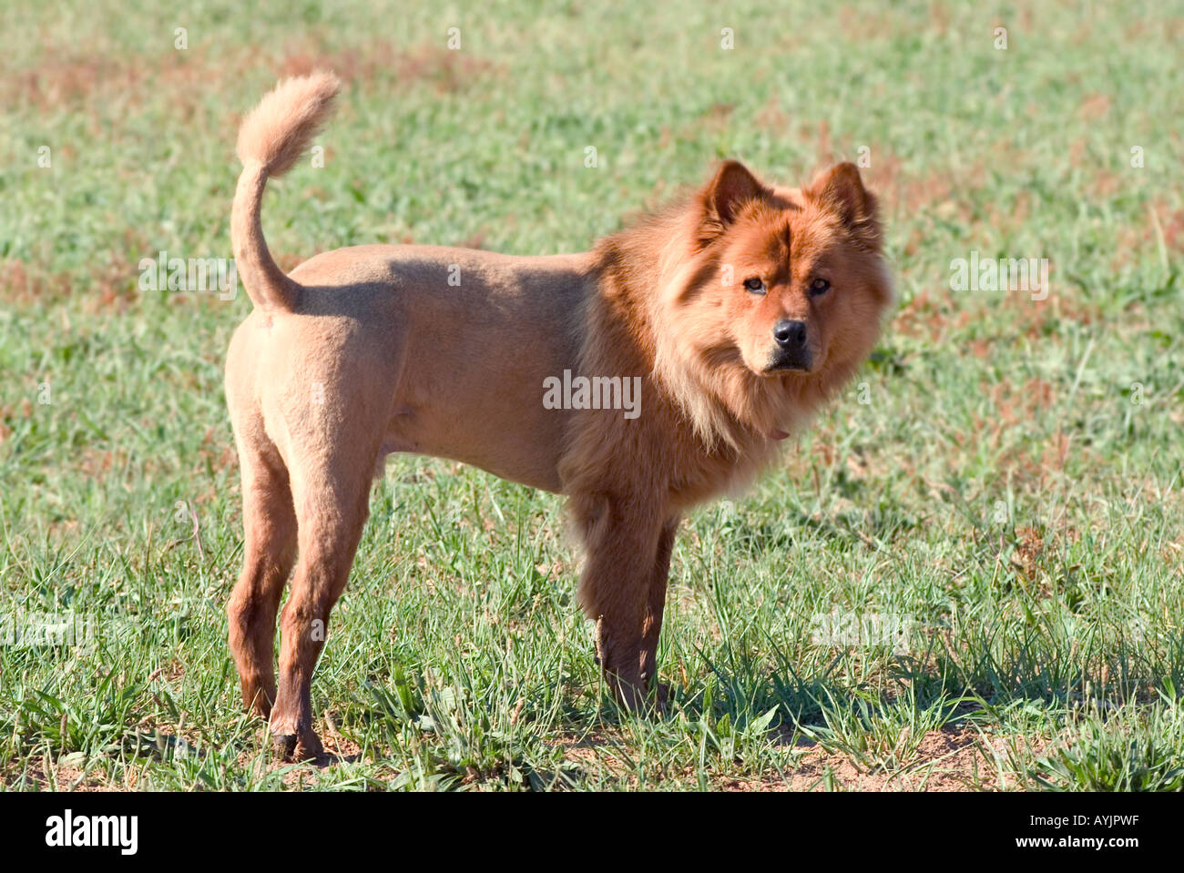 Chow Chow dog shaved to look like a lion standing in a green field