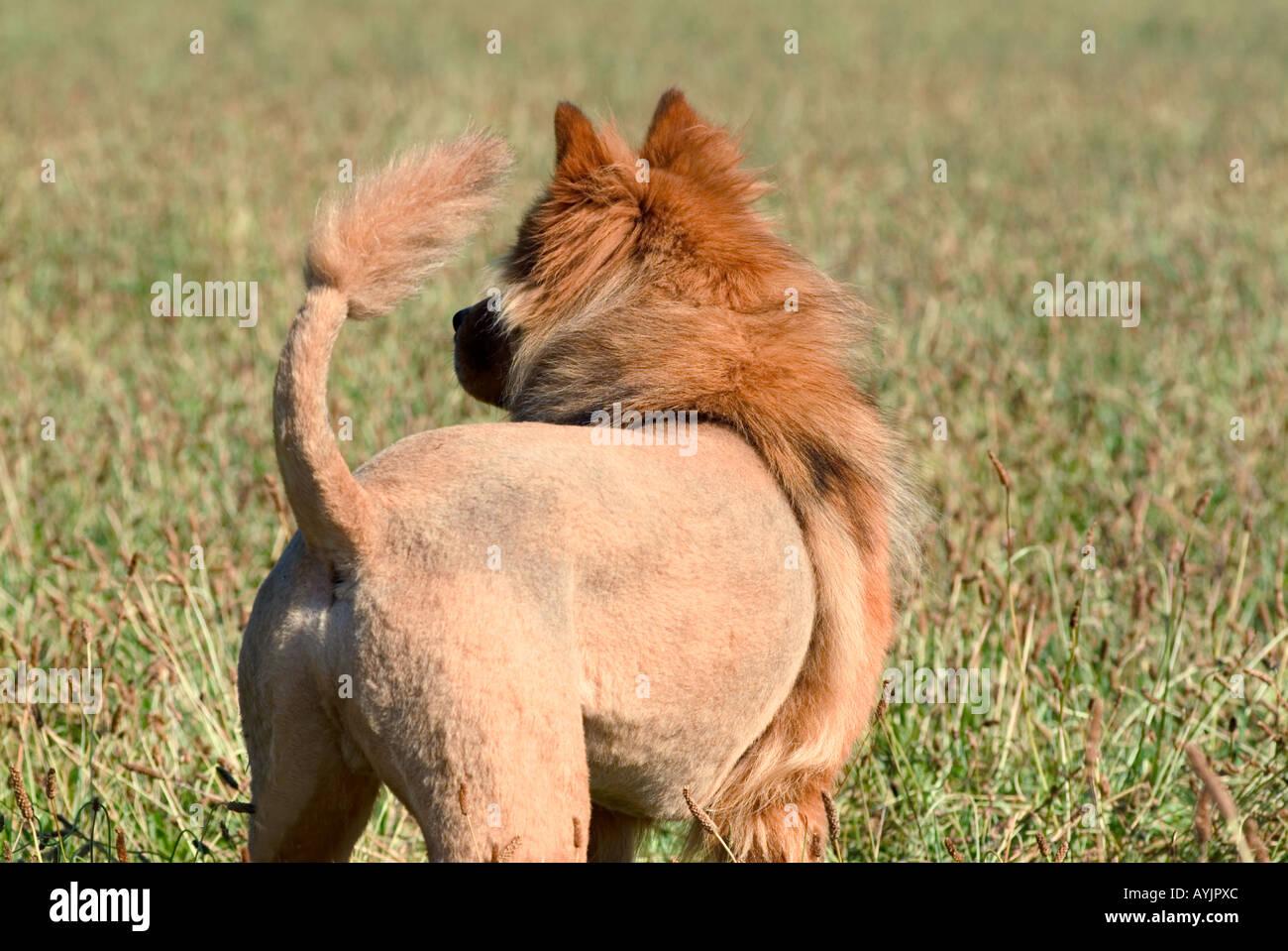 Dog Groomed Like Lion