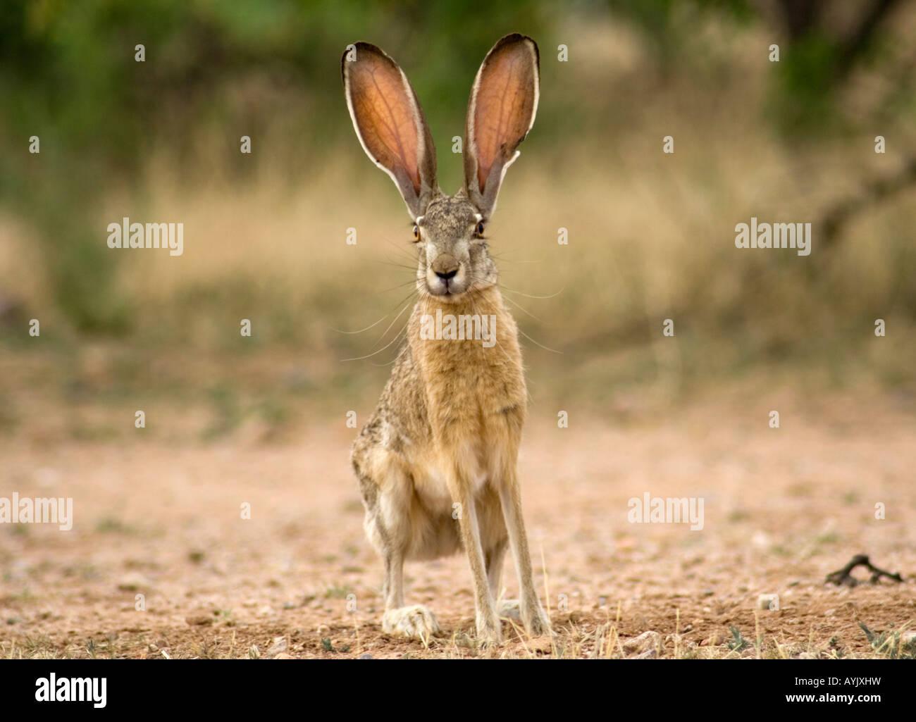 Jack Rabbit Usa >> Black Tailed Jackrabbit Or Desert Hare Lepus Californicus