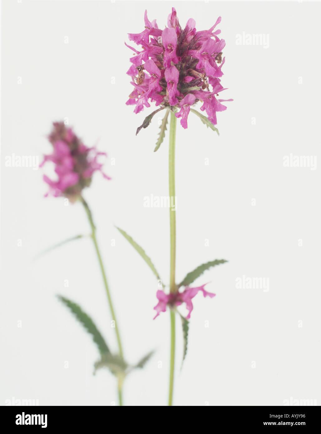 Stachys Officinalis Betony Dense Whorls Of Pink Flowers Growing At