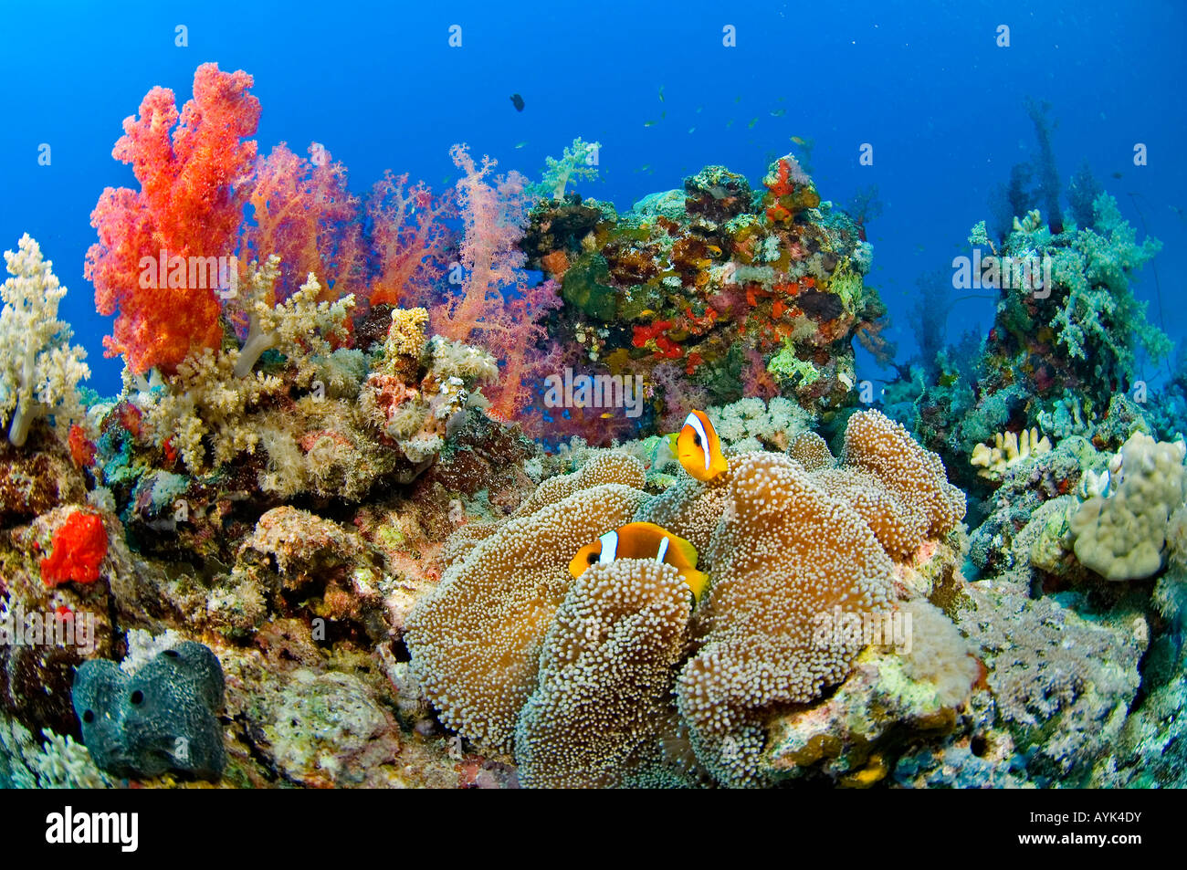 Red Sea coral patch - Stock Image