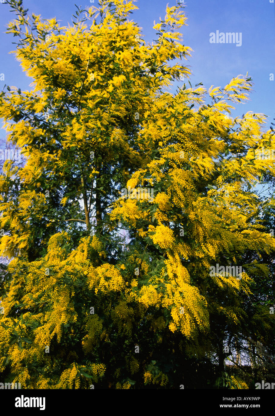 Acacia Dealbata Subalpina Stock Photos Acacia Dealbata Subalpina