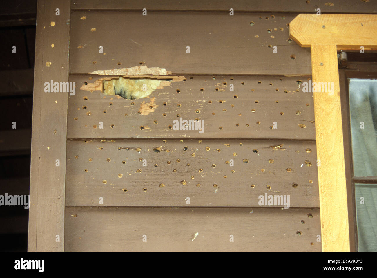Santa Rita Lodge - Arizona - USA Acorns stored by woodpeckers Damage to the wall caused by squirrels - Stock Image