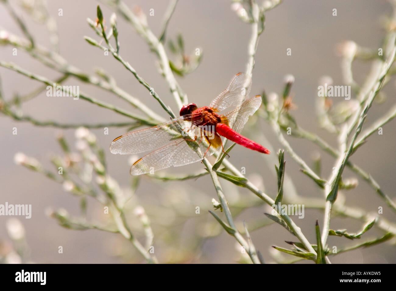 Broad Scarlet dragonfly Crocothemis erythraea Stock Photo