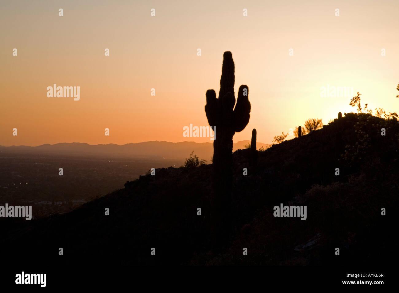 Saguaro Cactus on Piestewa Peak - Stock Image