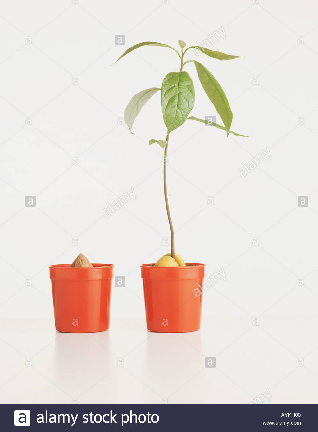 A young sapling in a pot alongside another pot with a seed and nothing growing from it - Stock Image