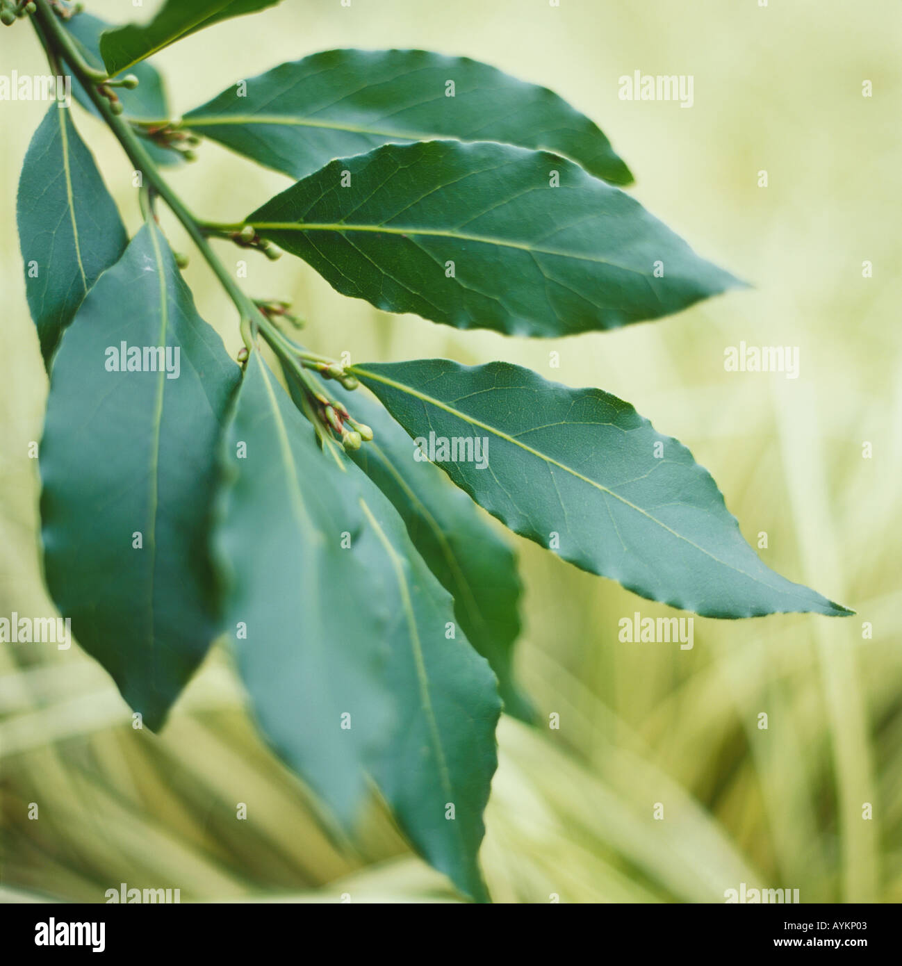 Laurus nobilis f. angustifolia, willow Leaf Bay, pointed oval dark green leaves with shiny upper surface, Stock Photo
