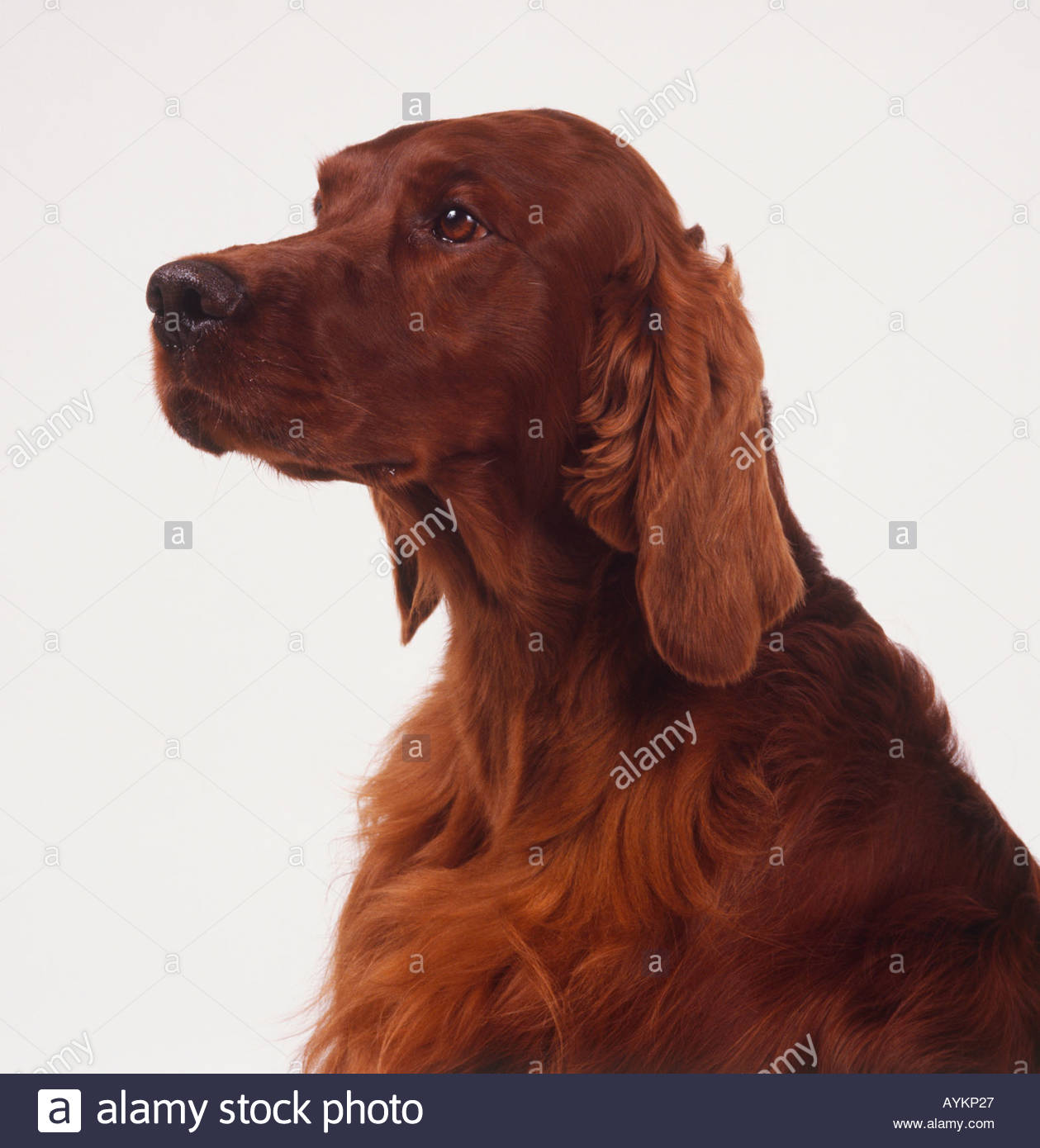 Side view of an Irish Setter's head. - Stock Image