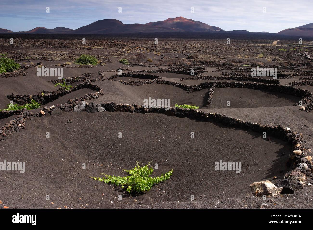 Grape vines grow in black volcanic sand on Lanzarote. Stock Photo