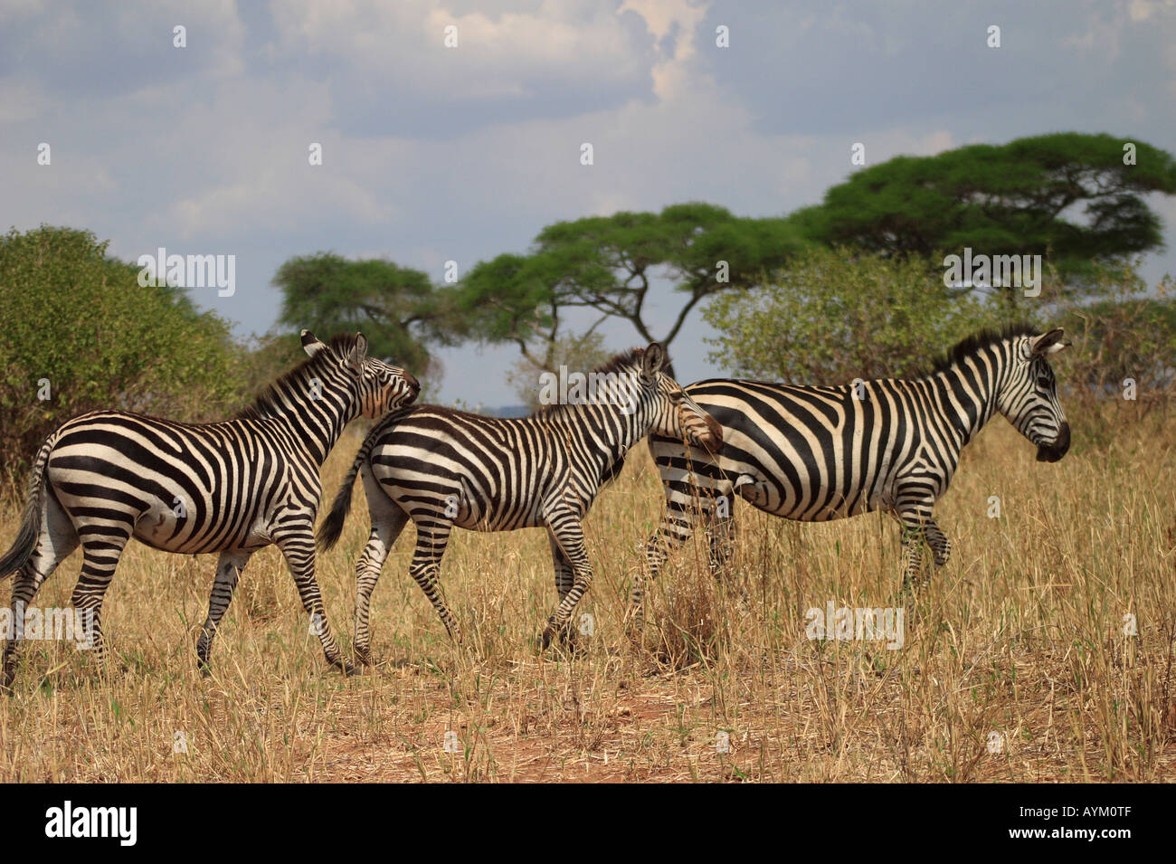 Three zebra walk head to tail in Tarangire National Park, Tanzania. - Stock Image