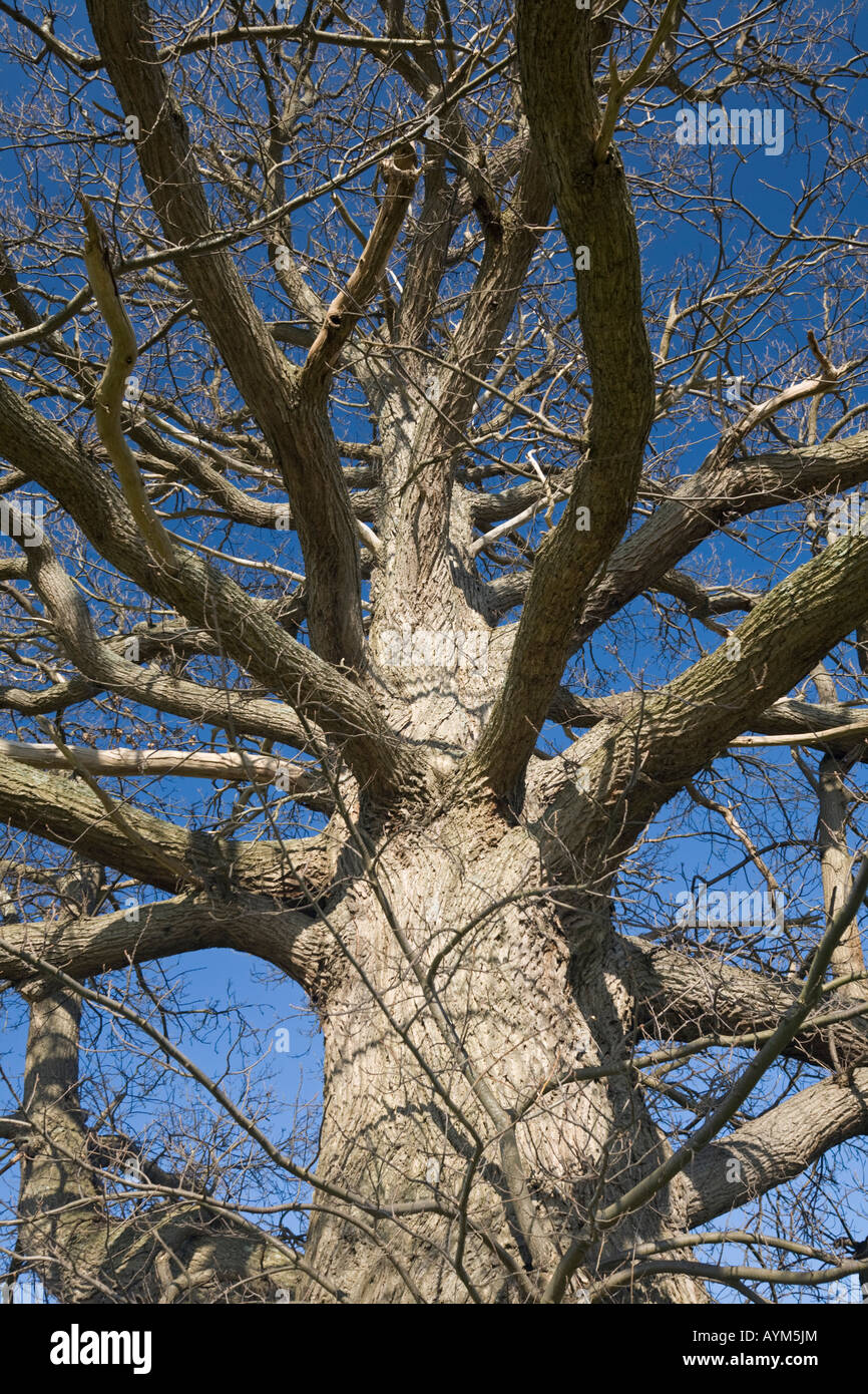 A hundred-year-old chesnut tree (Castanea sativa), in Winter (France). Châtaignier centenaire en hiver (Allier  Stock Photo