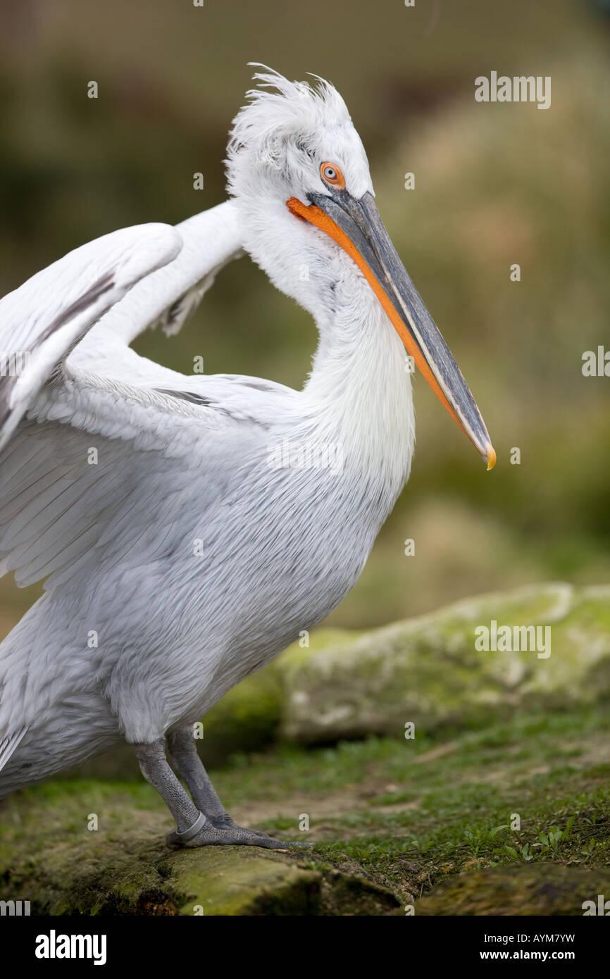 Dalmatian Pelican - Pelecanus crispus - Stock Image